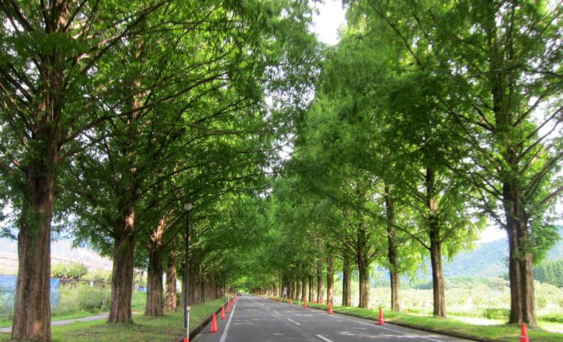 ビワイチ メタセコイヤ並木